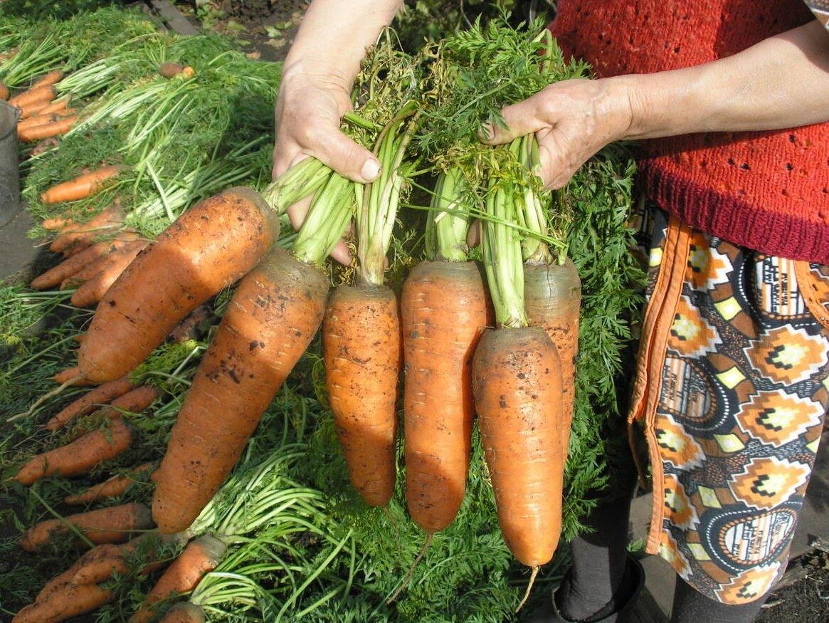 разных морковь которую сильно поливали фото машины